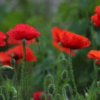 Цветущая поляна :: И.В.К. ))
