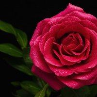 Красная роза — эмблема любви :: Александр Афромеев