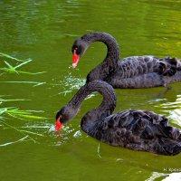Чёрный лебедь на пруду. :: Николай Крюков