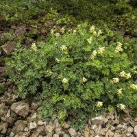 Цветы высокогорья :: Marina Talberga
