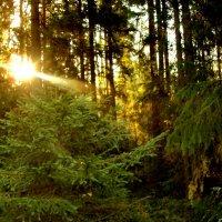 Утро в лесу.. :: Светлана