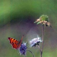 Бабочка :: михаил суворов