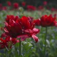 Тюльпаны :: Ольга Рав