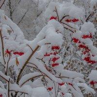 Рябина под снегом :: Вера