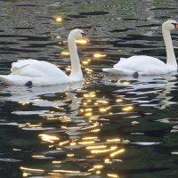 а белый лебедь на пруду :: валя