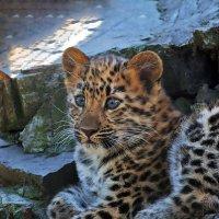 Леопард :: Владимир Габов