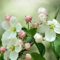 Яблони в цвету-Весны творенье... :: Елена ))