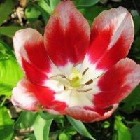 Красно-белый тюльпан :: Дмитрий Никитин