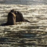 морские слоники :: svabboy photo