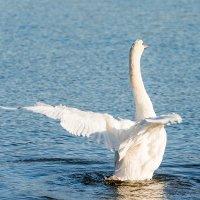 Лебединый танец. :: Геннадий Оробей