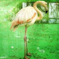 Фламинго в зимнем помещении птичника :: Нина Бутко