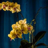 Орхидеи. :: Юрий Харченко