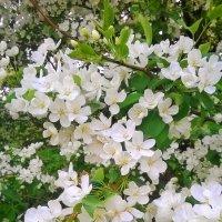 цветуцяя яблоня :: вероника гениатуллина