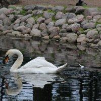 Лебедь :: Pol Art