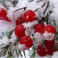 наливные ягоды рдеют на снегу.... :: Павлова Татьяна Павлова