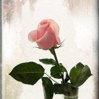Роза не боится мороза) :: Алина