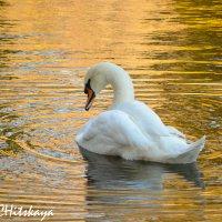 А белый лебедь на пруду качает павшую листву... :: Yelena LUCHitskaya