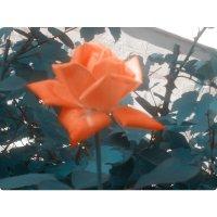 мареновая роза :: Ольга Сафонова
