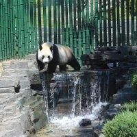Панда,зоопарк Даляня :: Сергей Смоляр