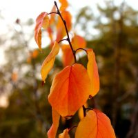 Осенняя персиковая веточка :: Светлана
