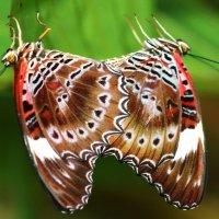 Red Lacewing(cetrosia chrysippe),Красная Златоглазка, :: Антонина