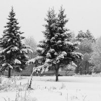 Ёлки нашего двора. :: Наталья Юрова