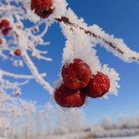 Яблоки в снегу... :: Vladikom