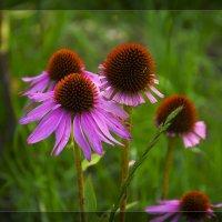 Echinacea purpurea :: Виктор (Victor)