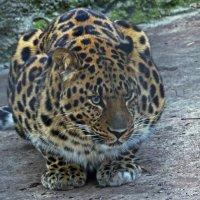 Дальневосточный амурский леопард :: Александр Запылёнов