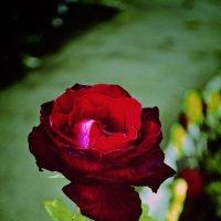 Роза :: Мария Шуляковская