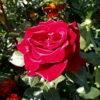 Аромат розы... :: Валентина Жукова