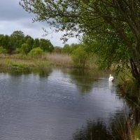 Белый лебедь на пруду. :: zoja