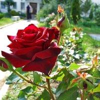 Роза :: Татьяна Белогубцева