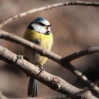 А это веселая птица-синица... :: Игорь Овсянников