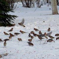 Свиристели на снегу :: Ната Волга