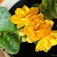 Желтый Каланхое :: Лидия (naum.lidiya)
