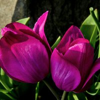 Тюльпаны :: Viacheslav