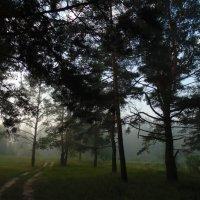 Утро в сосновом лесу. :: Людмила Ларина