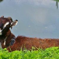 У реки коза лежала.... :: Святец Вячеслав