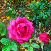 роза в декабре.... :: Юрий Владимирович