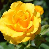 Жёлтая роза :: Виктор Шандыбин