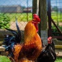 Гордый петух и влюбленная  курица :: Олег Товкач