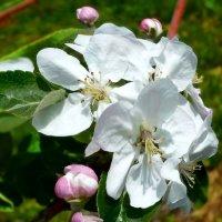 Яблони цветут. :: Чария Зоя