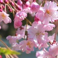 Сакура цветет :: Светлана