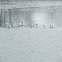 чайки на льду :: prokyl
