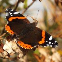 октябрьская бабочка :: prokyl