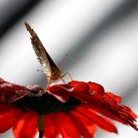 бабочка :: Александр Иванов