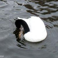 Черношейный лебедь :: Нина Бутко