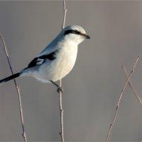 Сорокопут серый :: Анна Солисия Голубева