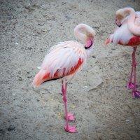 фламинго :: Анастасия Климова